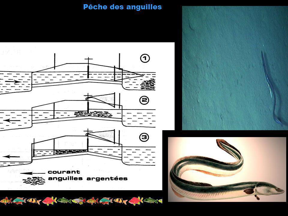 Pêche des anguilles