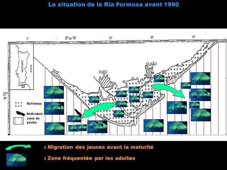 La situation de la Ria Formosa avant 1990 : Migration des jeunes avant la maturité : Zone fréquentée par les adultes