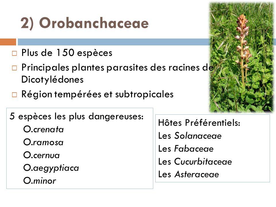 Plus de 150 espèces Principales plantes parasites des racines de Dicotylédones Région tempérées et subtropicales 5 espèces les plus dangereuses: O.cre