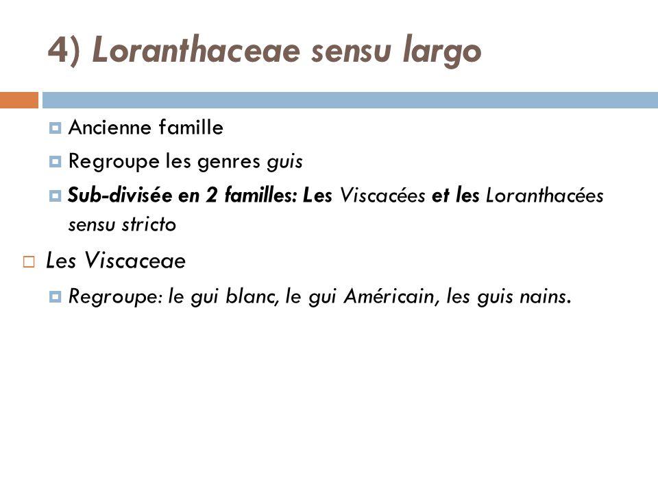 Ancienne famille Regroupe les genres guis Sub-divisée en 2 familles: Les Viscacées et les Loranthacées sensu stricto Les Viscaceae Regroupe: le gui bl