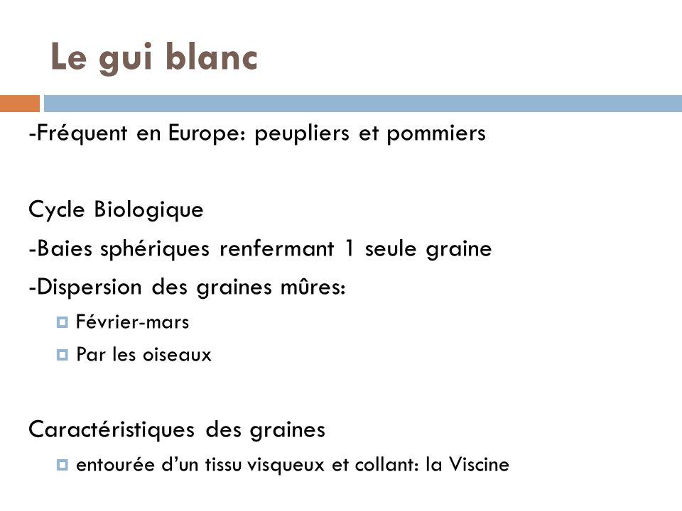 -Fréquent en Europe: peupliers et pommiers Cycle Biologique -Baies sphériques renfermant 1 seule graine -Dispersion des graines mûres: Février-mars Pa