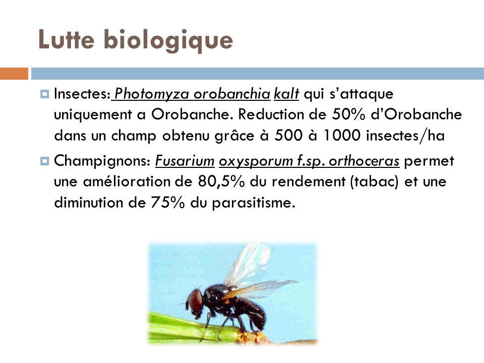 Lutte biologique Insectes: Photomyza orobanchia kalt qui sattaque uniquement a Orobanche. Reduction de 50% dOrobanche dans un champ obtenu grâce à 500