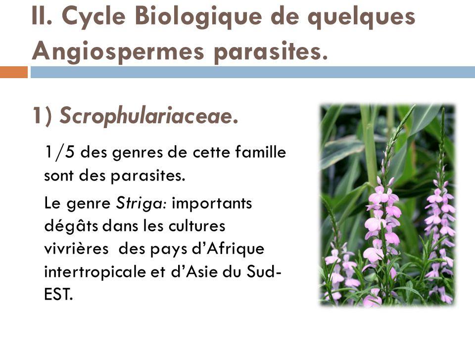 II. Cycle Biologique de quelques Angiospermes parasites. 1) Scrophulariaceae. 1/5 des genres de cette famille sont des parasites. Le genre Striga: imp