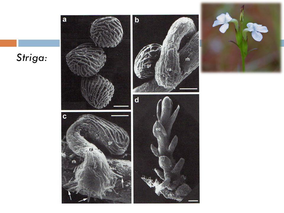 Loranthaceae Sensu Stricto Cycle biologique du genre Tapinanthus