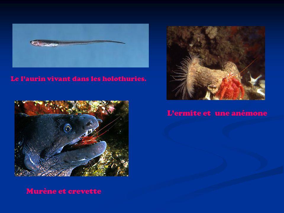 Le laurin vivant dans les holothuries. Lermite et une anémone Murène et crevette