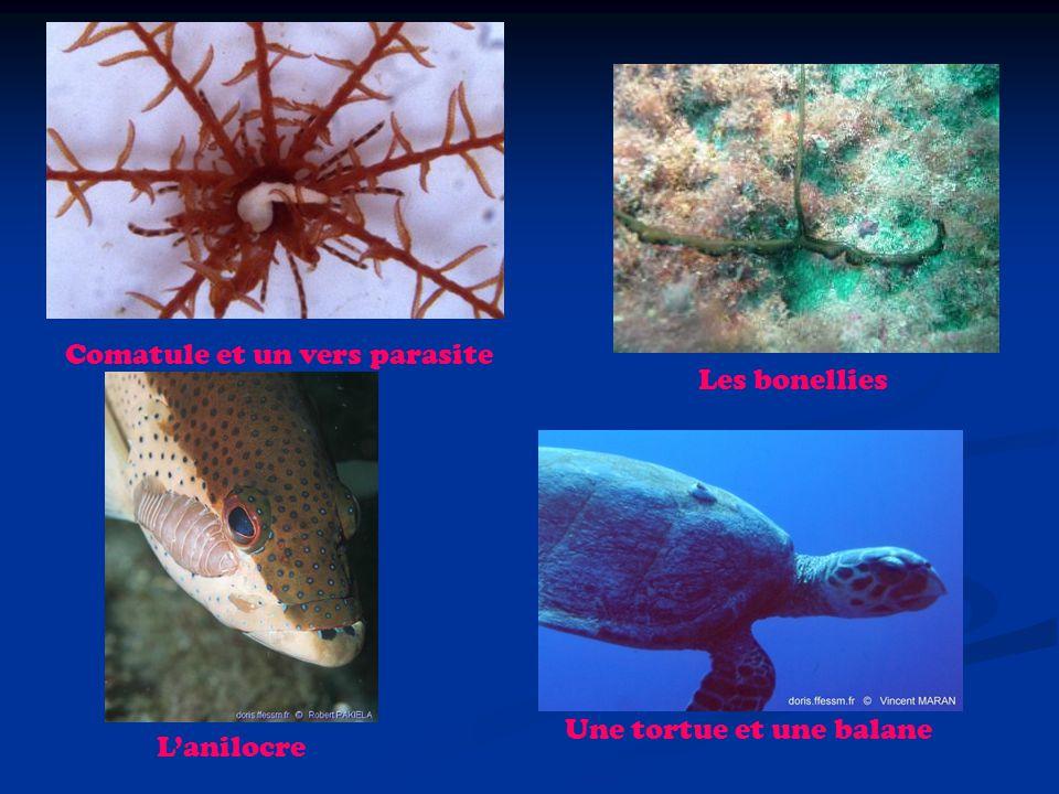 Comatule et un vers parasite Les bonellies Lanilocre Une tortue et une balane
