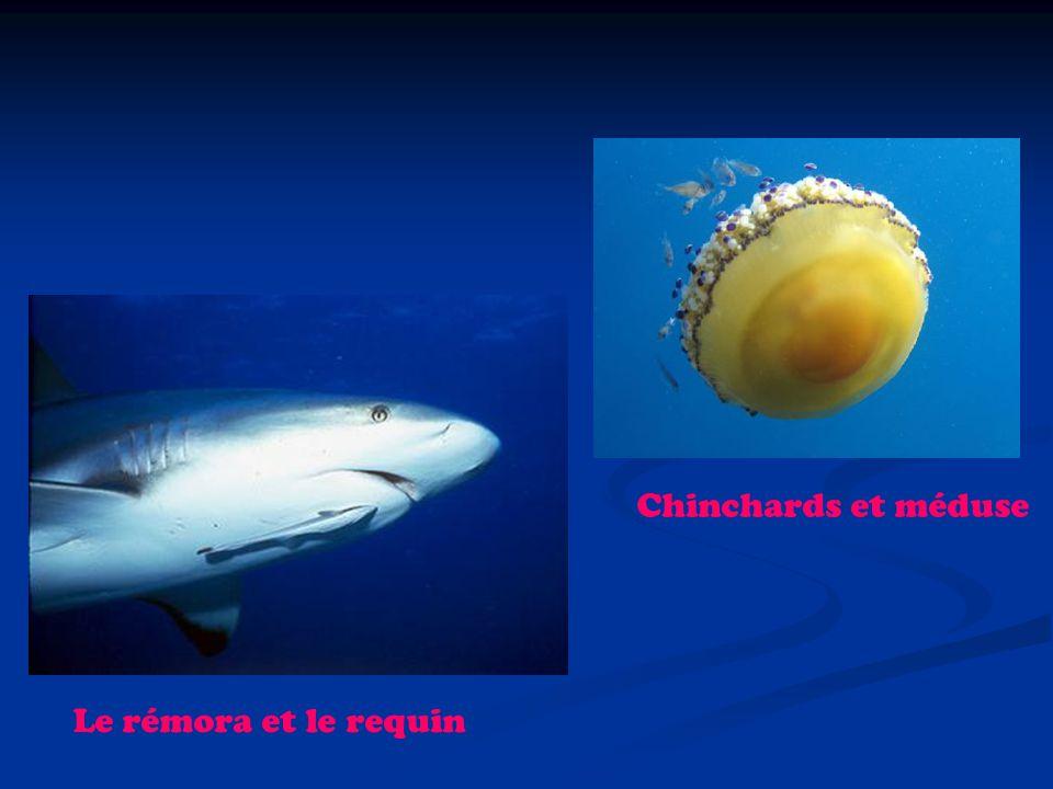 Le rémora et le requin Chinchards et méduse