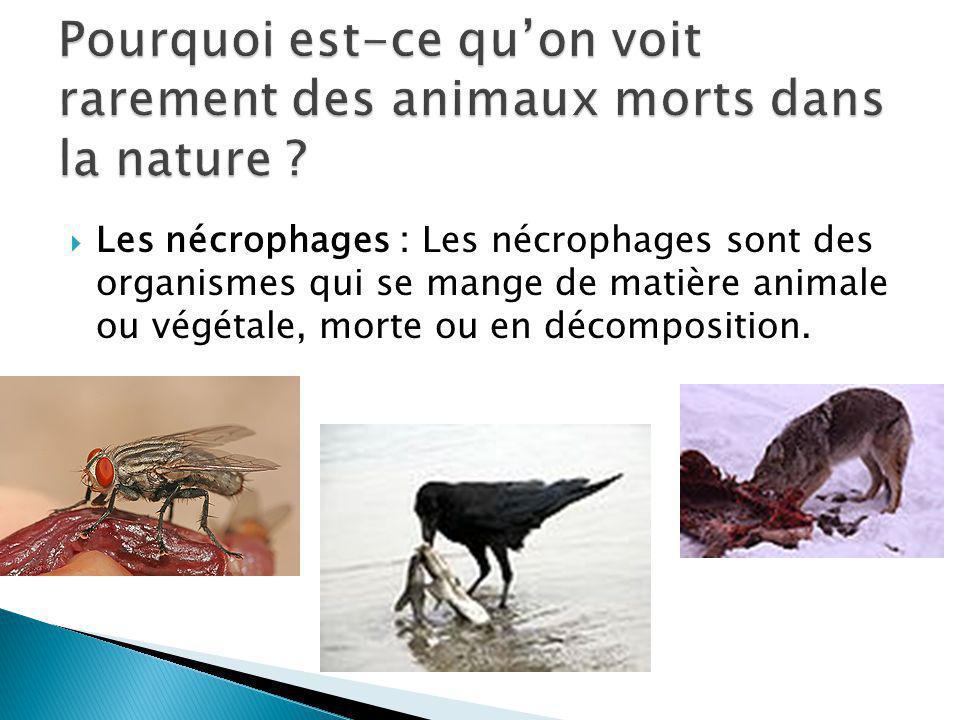 Les nécrophages : Les nécrophages sont des organismes qui se mange de matière animale ou végétale, morte ou en décomposition.