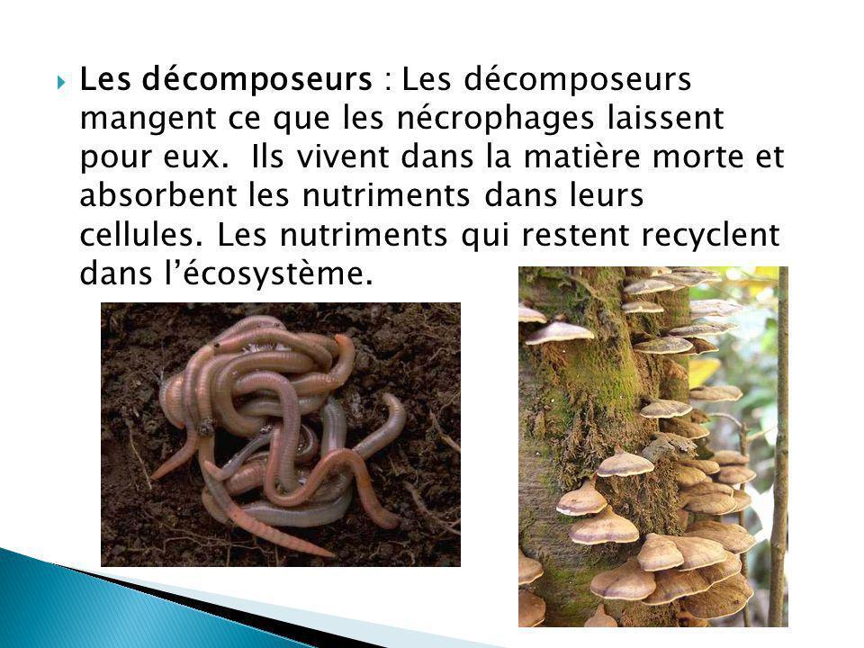 Les décomposeurs : Les décomposeurs mangent ce que les nécrophages laissent pour eux. Ils vivent dans la matière morte et absorbent les nutriments dan
