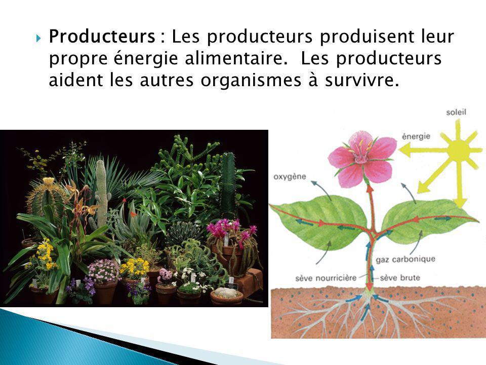 Producteurs : Les producteurs produisent leur propre énergie alimentaire. Les producteurs aident les autres organismes à survivre.