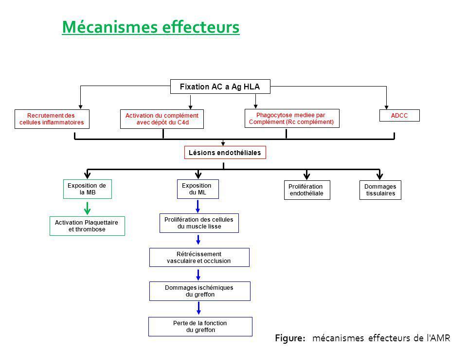 Mécanismes effecteurs Fixation AC a Ag HLA Recrutement des cellules inflammatoires Activation du complément avec dépôt du C4d Phagocytose mediee par C