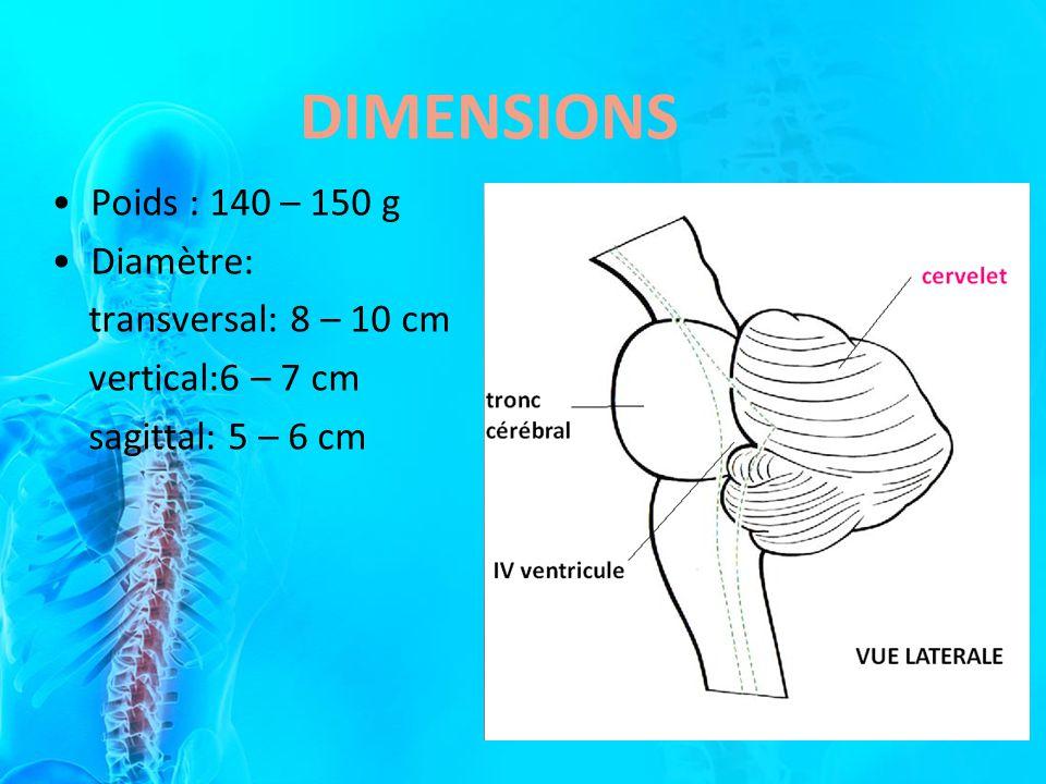 Poids : 140 – 150 g Diamètre: transversal: 8 – 10 cm vertical:6 – 7 cm sagittal: 5 – 6 cm DIMENSIONS
