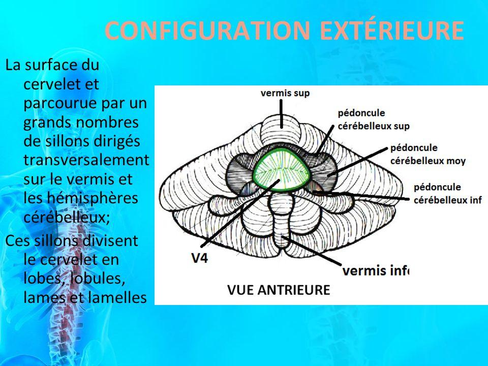 La surface du cervelet et parcourue par un grands nombres de sillons dirigés transversalement sur le vermis et les hémisphères cérébelleux; Ces sillon