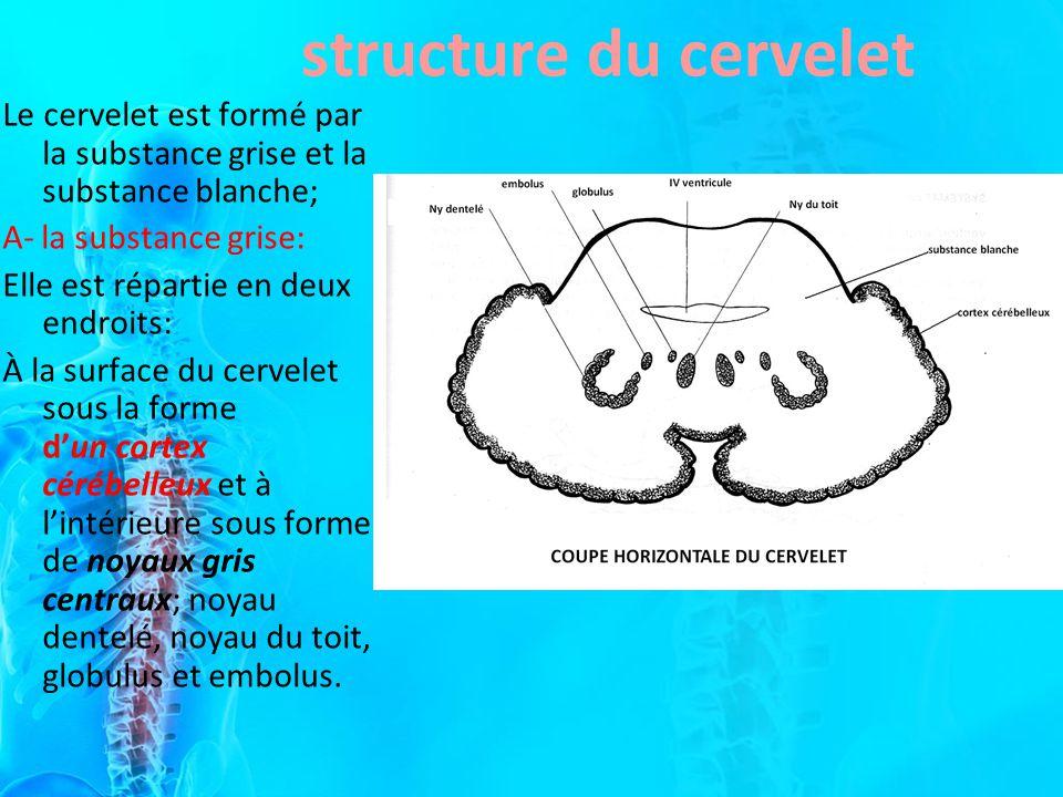 Le cervelet est formé par la substance grise et la substance blanche; A- la substance grise: Elle est répartie en deux endroits: À la surface du cerve