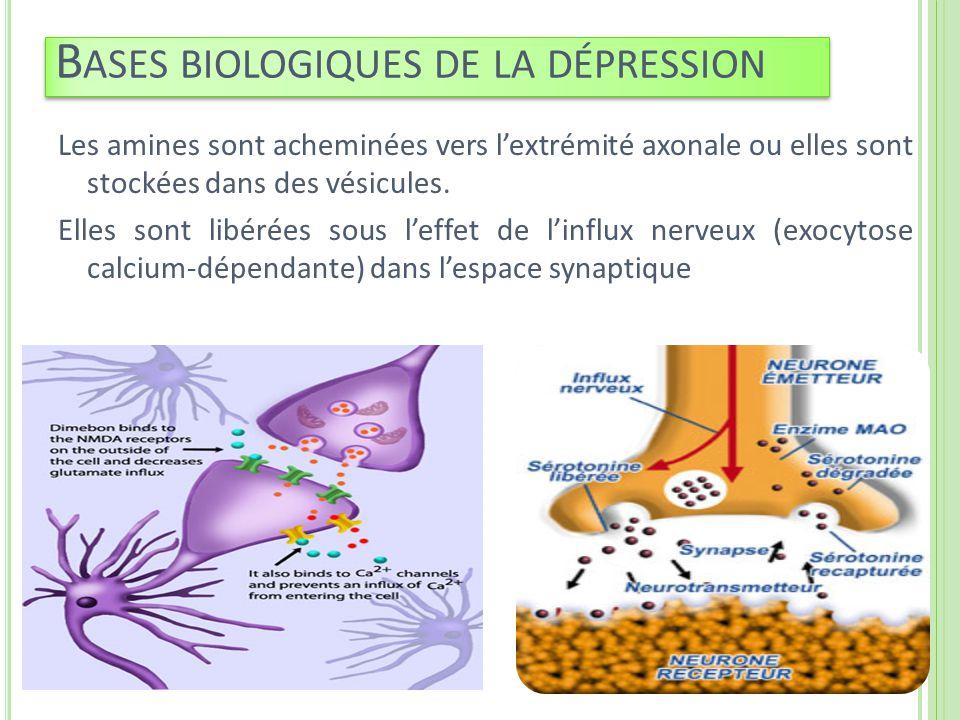 Les amines sont acheminées vers lextrémité axonale ou elles sont stockées dans des vésicules. Elles sont libérées sous leffet de linflux nerveux (exoc