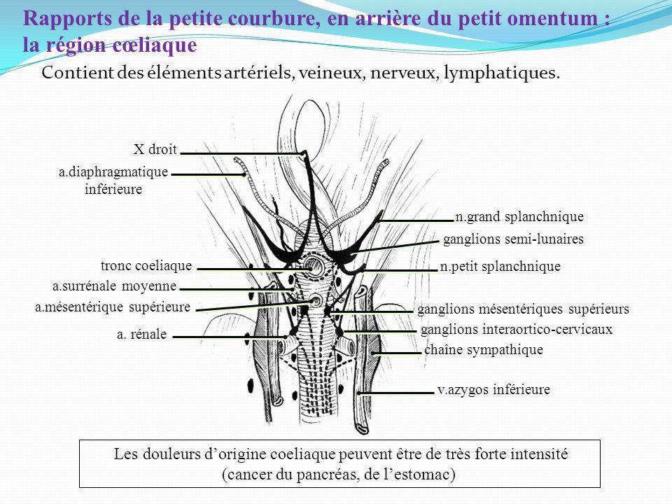 Rapports de la petite courbure, en arrière du petit omentum : la région cœliaque Les douleurs dorigine coeliaque peuvent être de très forte intensité (cancer du pancréas, de lestomac) X droit Contient des éléments artériels, veineux, nerveux, lymphatiques.