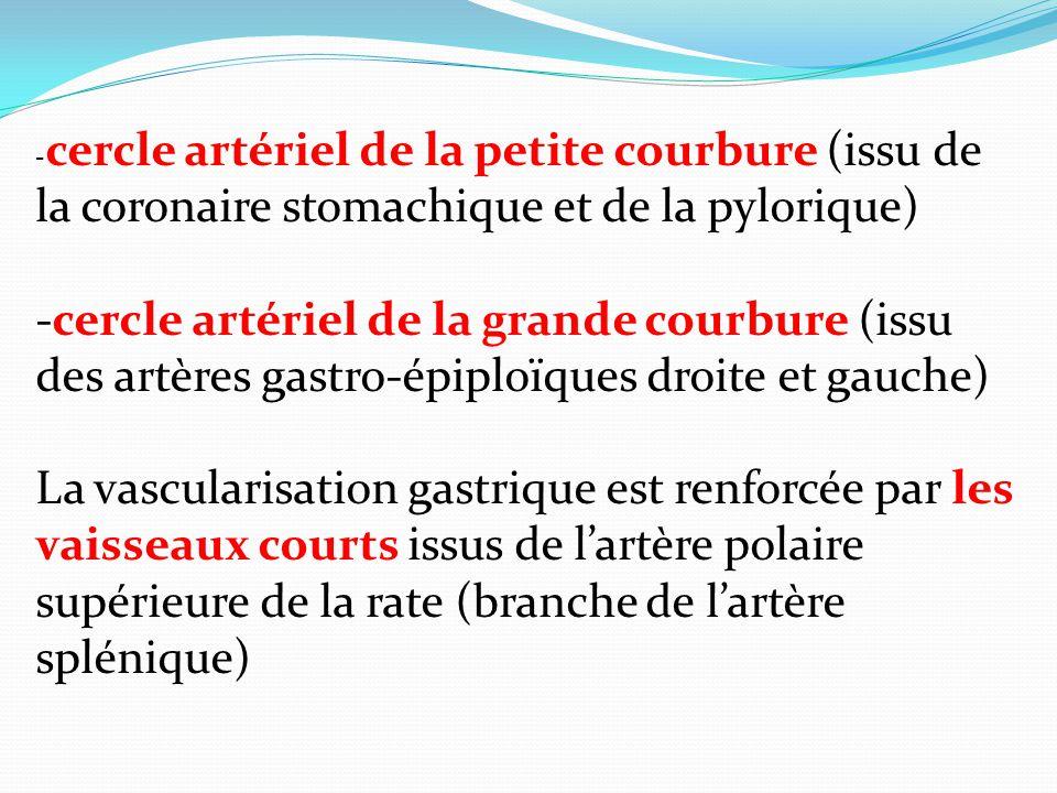 - cercle artériel de la petite courbure (issu de la coronaire stomachique et de la pylorique) -cercle artériel de la grande courbure (issu des artères gastro-épiploïques droite et gauche) La vascularisation gastrique est renforcée par les vaisseaux courts issus de lartère polaire supérieure de la rate (branche de lartère splénique)