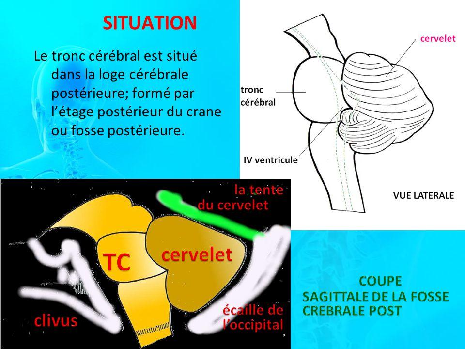 SITUATION Le tronc cérébral est situé dans la loge cérébrale postérieure; formé par létage postérieur du crane ou fosse postérieure.