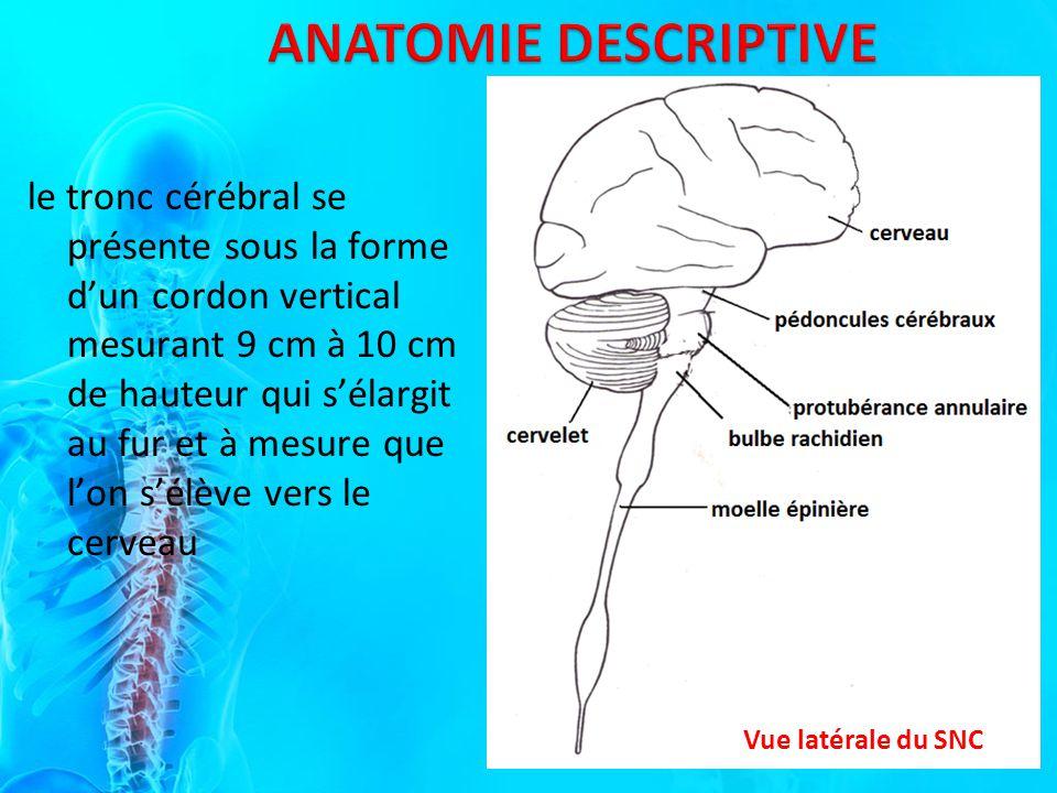 le tronc cérébral se présente sous la forme dun cordon vertical mesurant 9 cm à 10 cm de hauteur qui sélargit au fur et à mesure que lon sélève vers le cerveau Vue latérale du SNC