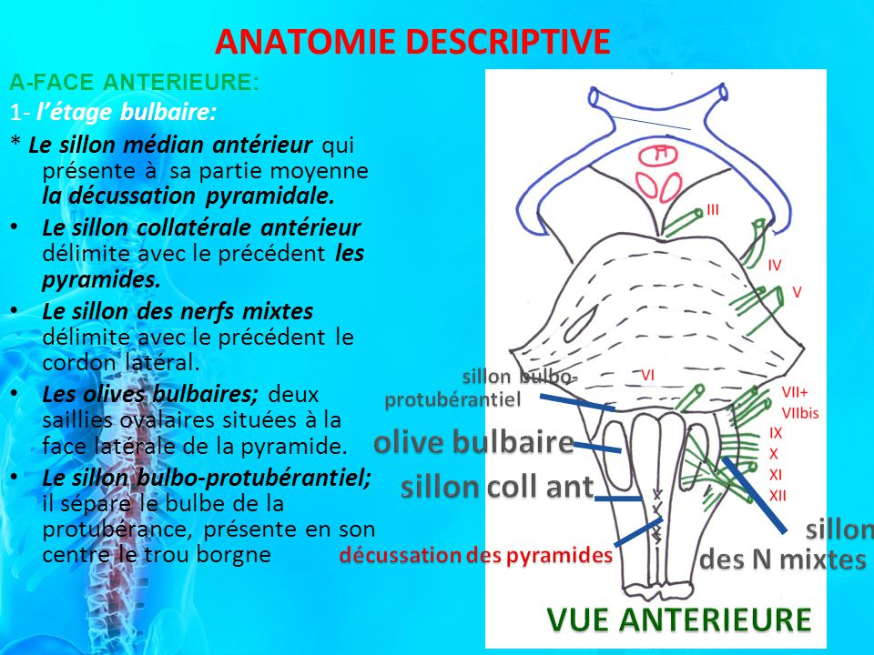 ANATOMIE DESCRIPTIVE A-FACE ANTERIEURE: 1- létage bulbaire: * Le sillon médian antérieur qui présente à sa partie moyenne la décussation pyramidale.