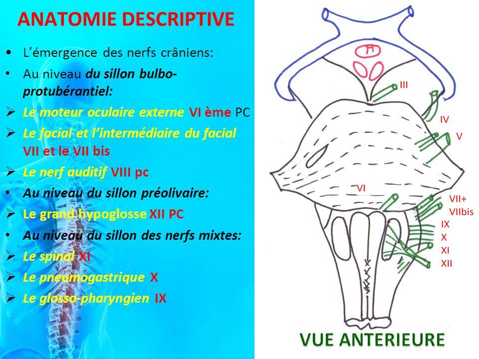 Lémergence des nerfs crâniens: Au niveau du sillon bulbo- protubérantiel: Le moteur oculaire externe VI ème PC Le facial et lintermédiaire du facial VII et le VII bis Le nerf auditif VIII pc Au niveau du sillon préolivaire: Le grand hypoglosse XII PC Au niveau du sillon des nerfs mixtes: Le spinal XI Le pneumogastrique X Le glosso-pharyngien IX ANATOMIE DESCRIPTIVE