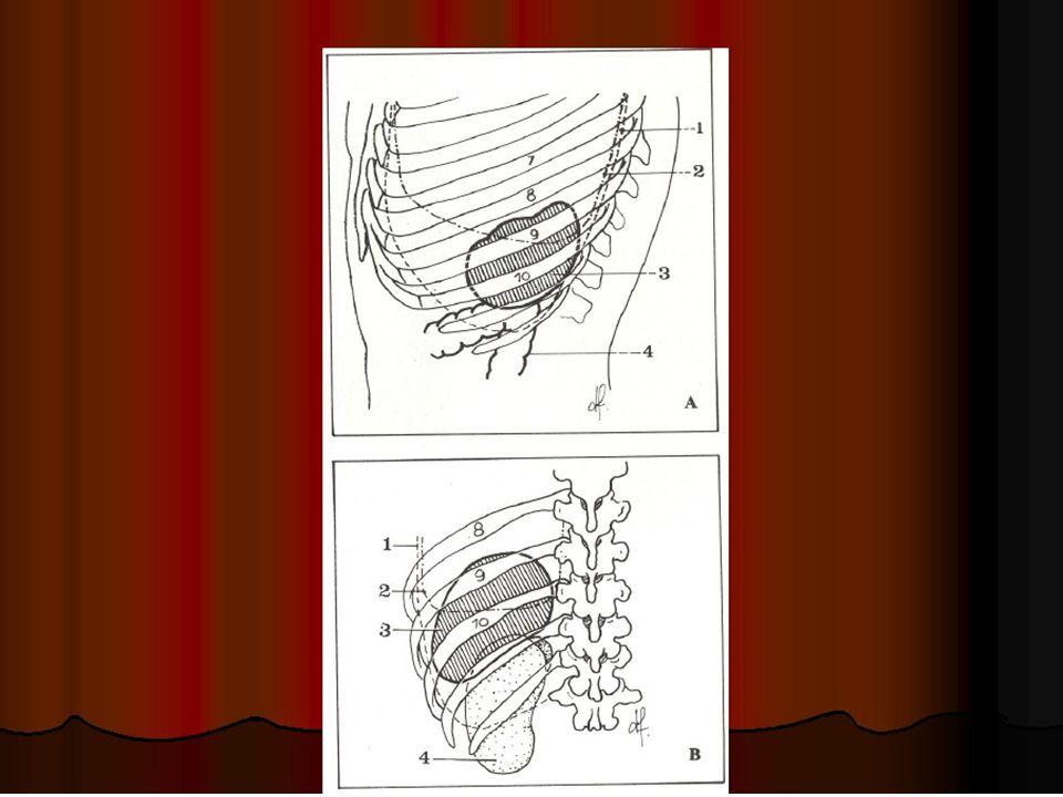 F-innervation de la rate Elle est exclusivement réalisée par le plexus cœliaque.