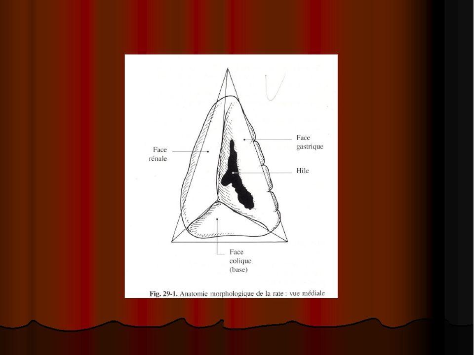 E -vascularisation 1-Les artères L artère splénique vient du tronc coeliaque à hauteur de T12.