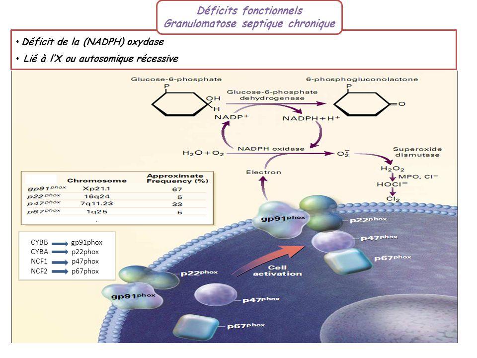 Déficit de la (NADPH) oxydase Lié à lX ou autosomique récessive Déficits fonctionnels Granulomatose septique chronique CYBB gp91phox CYBA p22phox NCF1