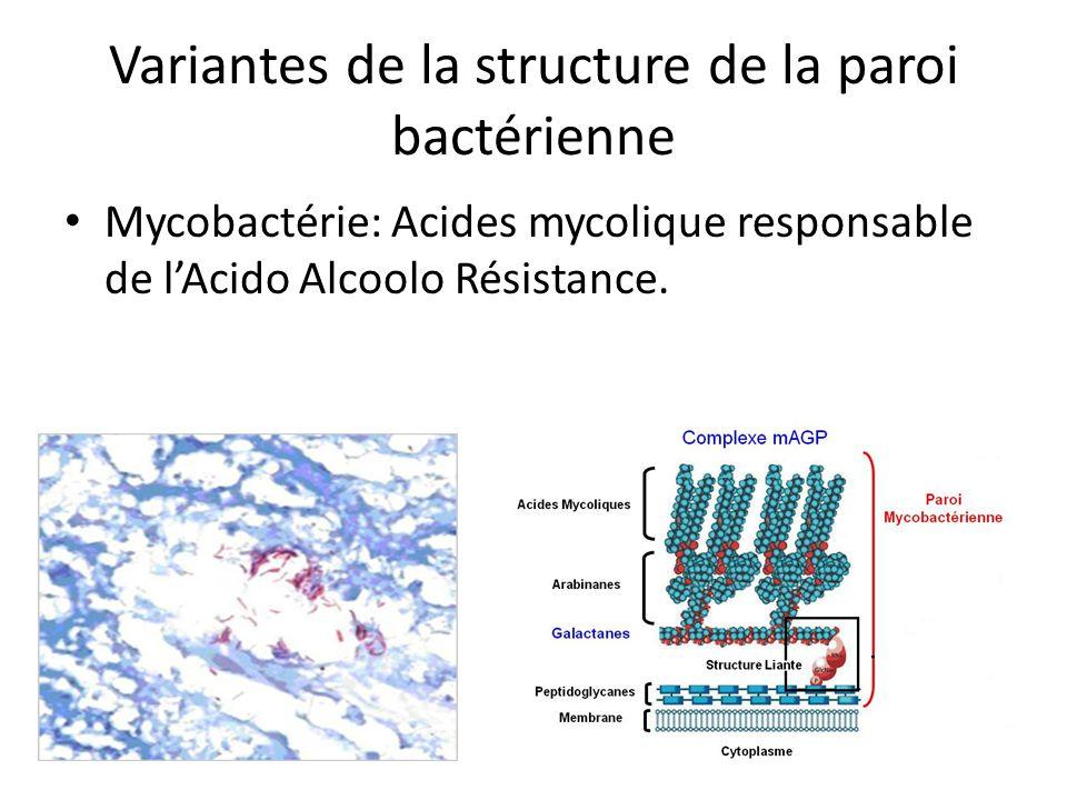 Variantes de la structure de la paroi bactérienne Mycobactérie: Acides mycolique responsable de lAcido Alcoolo Résistance.
