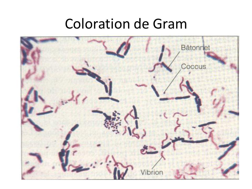 Coloration de Gram