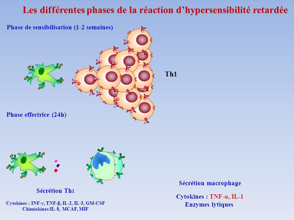 Phase de sensibilisation (1-2 semaines) Phase effectrice (24h) Sécrétion Th 1 Cytokines : INF-γ, TNF-β, IL-2, IL-3, GM-CSF Chimiokines:IL-8, MCAF, MIF