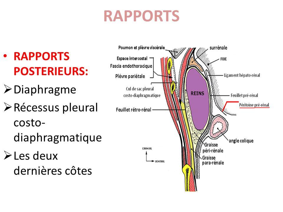 RAPPORTS LATERAUX: Le bord médial du rein, au dessus du pédicule rénal RAPPORTS