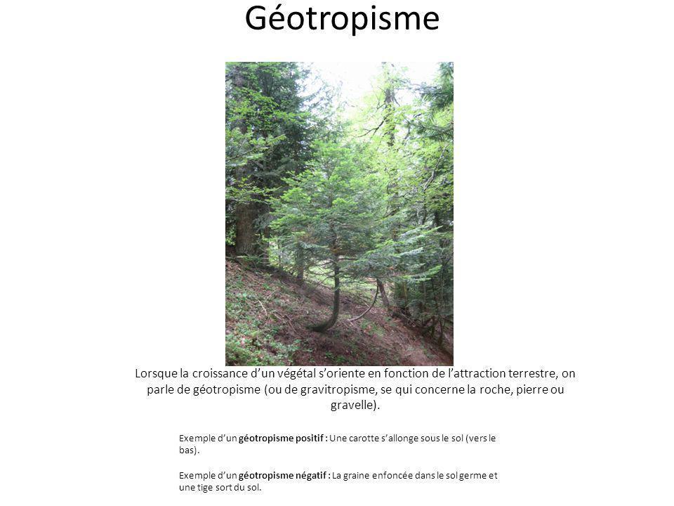 Géotropisme Lorsque la croissance dun végétal soriente en fonction de lattraction terrestre, on parle de géotropisme (ou de gravitropisme, se qui conc