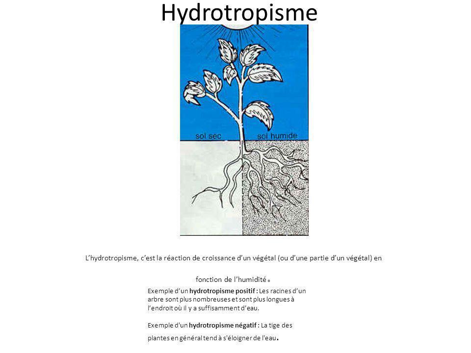 Hydrotropisme Lhydrotropisme, cest la réaction de croissance dun végétal (ou dune partie dun végétal) en fonction de lhumidité. Exemple dun hydrotropi
