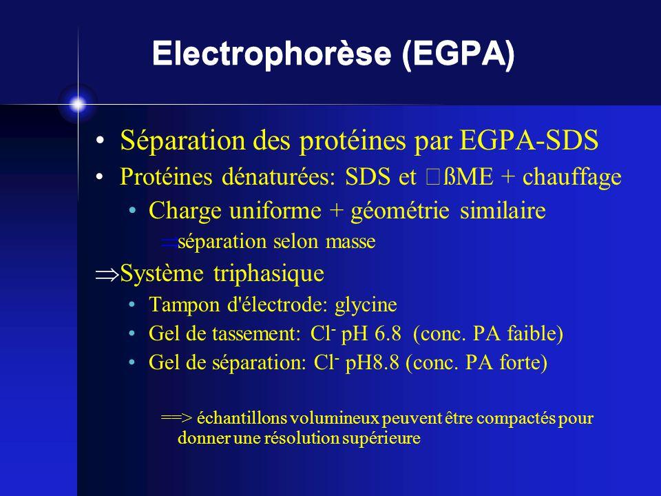 Electrophorèse (EGPA) Séparation des protéines par EGPA-SDS Protéines dénaturées: SDS et ßME + chauffage Charge uniforme + géométrie similaire séparation selon masse Système triphasique Tampon d électrode: glycine Gel de tassement: Cl - pH 6.8 (conc.