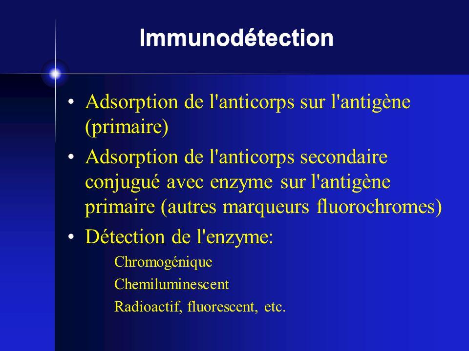 Immunodétection Adsorption de l anticorps sur l antigène (primaire) Adsorption de l anticorps secondaire conjugué avec enzyme sur l antigène primaire (autres marqueurs fluorochromes) Détection de l enzyme: Chromogénique Chemiluminescent Radioactif, fluorescent, etc.