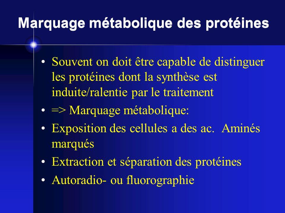 Marquage métabolique des protéines Souvent on doit être capable de distinguer les protéines dont la synthèse est induite/ralentie par le traitement =>