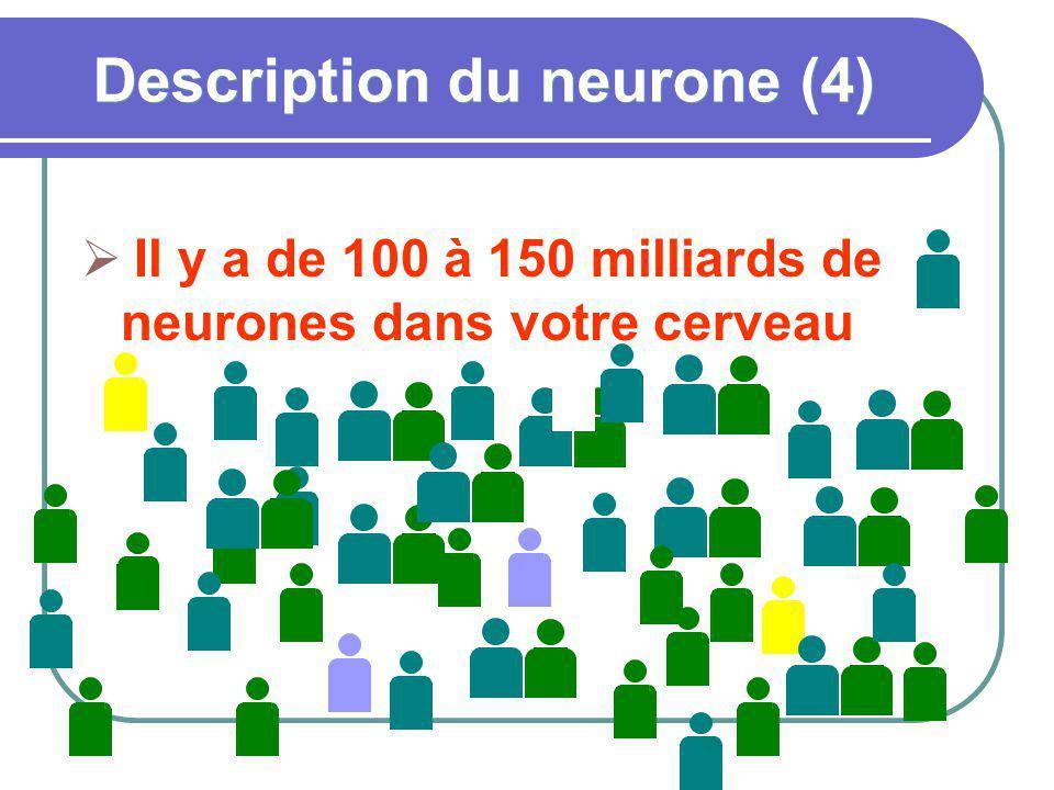 Description du neurone (4) Il y a de 100 à 150 milliards de neurones dans votre cerveau