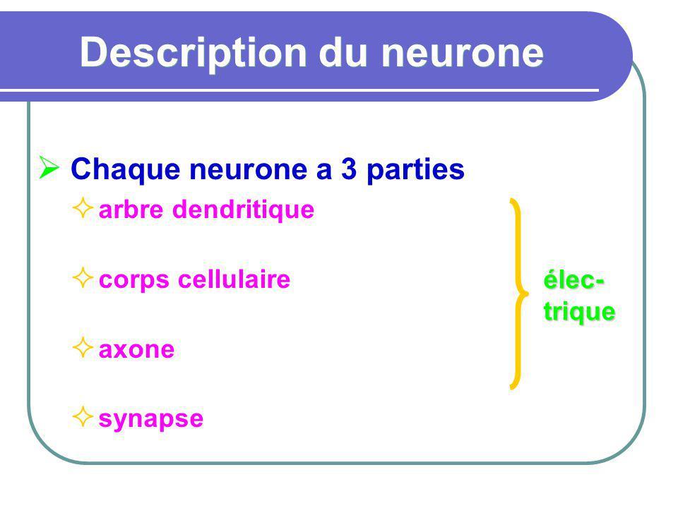 Description du neurone Chaque neurone a 3 parties arbre dendritique corps cellulaire axone synapse élec- trique