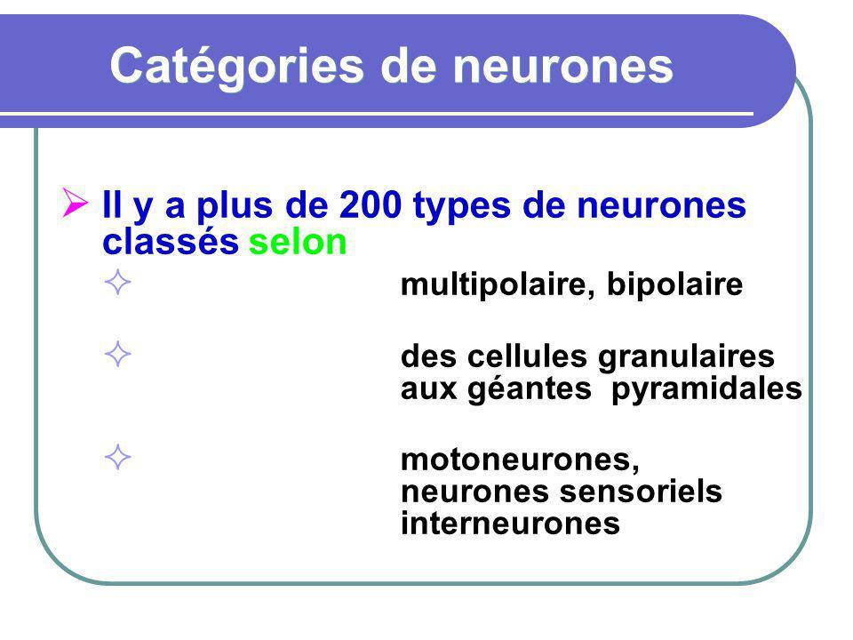 Catégories de neurones Il y a plus de 200 types de neurones classés selon la formemultipolaire, bipolaire la tailledes cellules granulaires aux géante