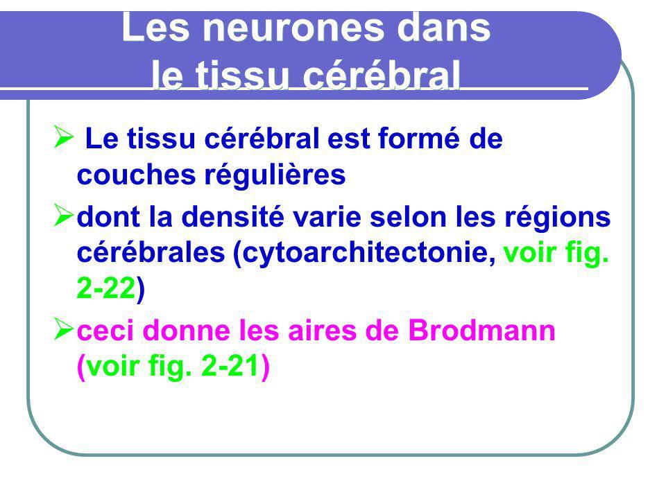 Les neurones dans le tissu cérébral Le tissu cérébral est formé de couches régulières dont la densité varie selon les régions cérébrales (cytoarchitec