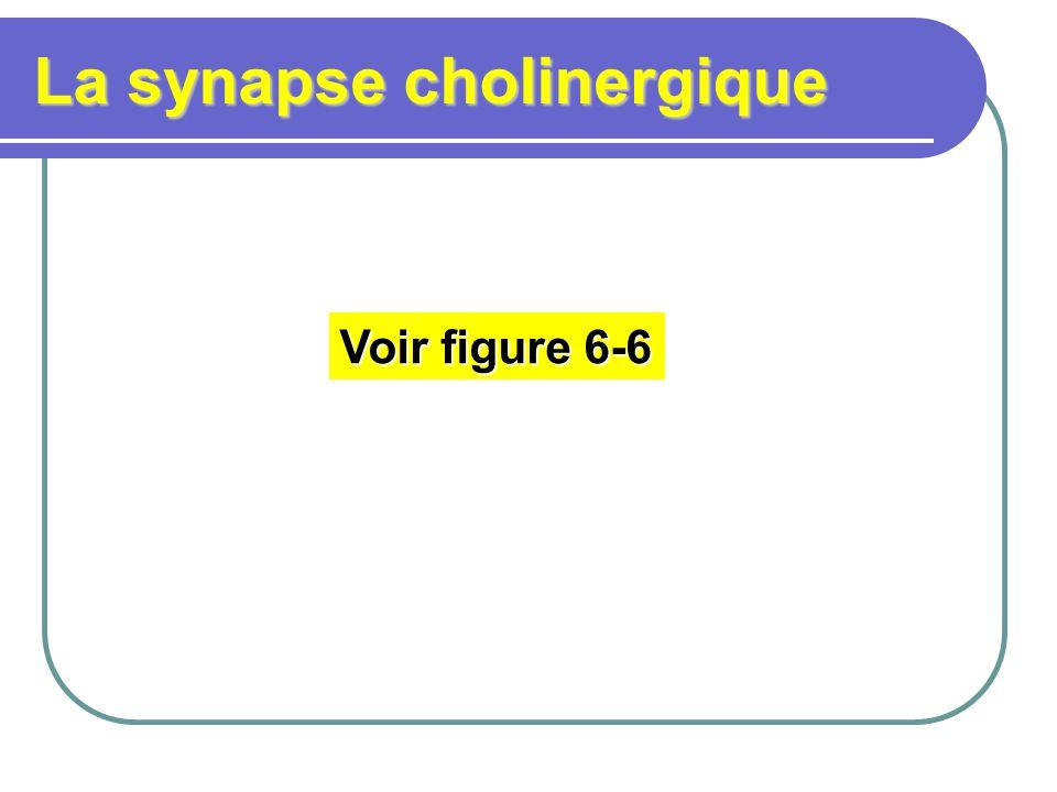 La synapse cholinergique Voir figure 6-6