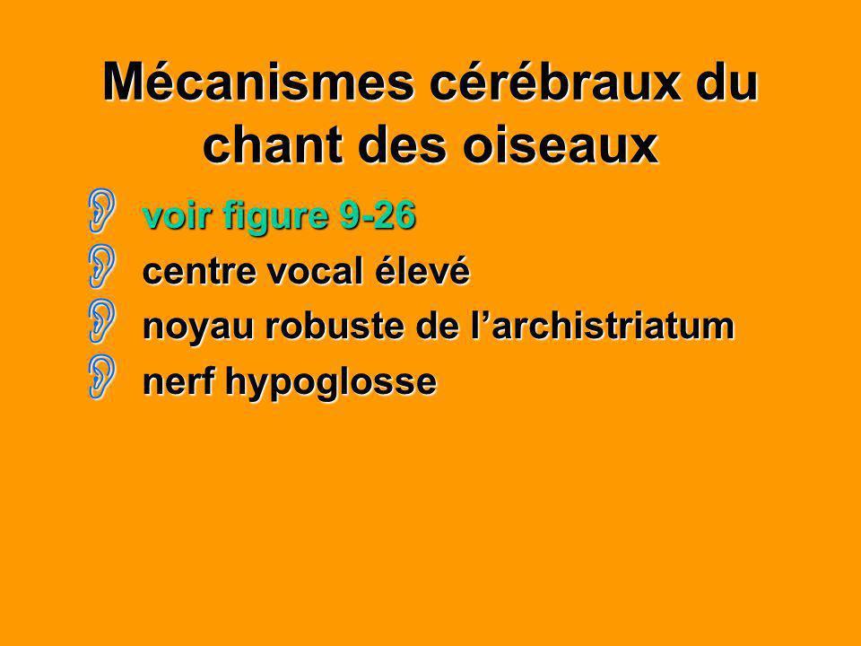 Mécanismes cérébraux du chant des oiseaux voir figure 9-26 voir figure 9-26 centre vocal élevé centre vocal élevé noyau robuste de larchistriatum noya