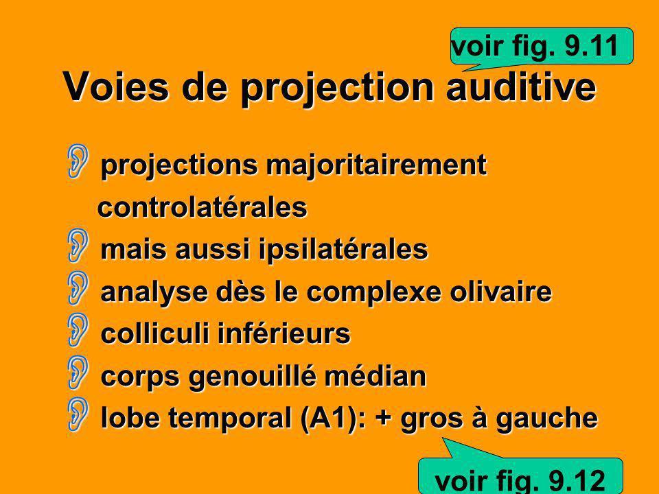 Voies de projection auditive projections majoritairement projections majoritairement controlatérales controlatérales mais aussi ipsilatérales mais aus