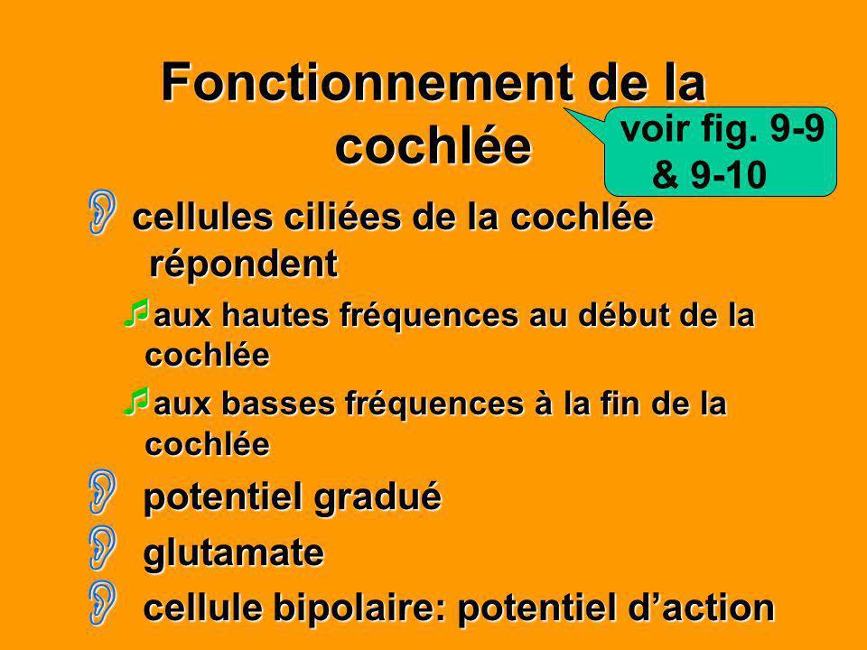 Fonctionnement de la cochlée cellules ciliées de la cochlée répondent cellules ciliées de la cochlée répondent aux hautes fréquences au début de la co
