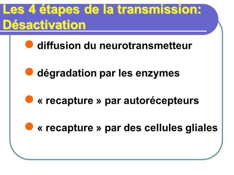 Les 4 étapes de la transmission: Désactivation diffusion du neurotransmetteur dégradation par les enzymes « recapture » par autorécepteurs « recapture » par des cellules gliales
