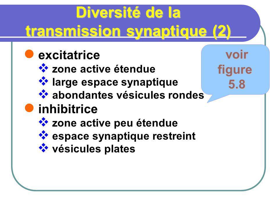 Diversité de la transmission synaptique (2) excitatrice zone active étendue large espace synaptique abondantes vésicules rondes inhibitrice zone active peu étendue espace synaptique restreint vésicules plates voir voirfigure 5.8 5.8