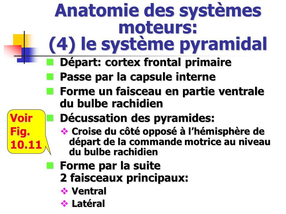 Anatomie des systèmes moteurs: (4) le système pyramidal Départ: cortex frontal primaire Départ: cortex frontal primaire Passe par la capsule interne Passe par la capsule interne Forme un faisceau en partie ventrale du bulbe rachidien Forme un faisceau en partie ventrale du bulbe rachidien Décussation des pyramides: Décussation des pyramides: Croise du côté opposé à lhémisphère de départ de la commande motrice au niveau du bulbe rachidien Croise du côté opposé à lhémisphère de départ de la commande motrice au niveau du bulbe rachidien Forme par la suite 2 faisceaux principaux: Forme par la suite 2 faisceaux principaux: Ventral Ventral Latéral LatéralVoirFig.10.11