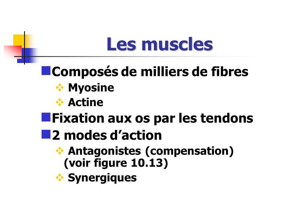 Les muscles Composés de milliers de fibres Myosine Actine Fixation aux os par les tendons 2 modes daction Antagonistes (compensation) (voir figure 10.13) Synergiques