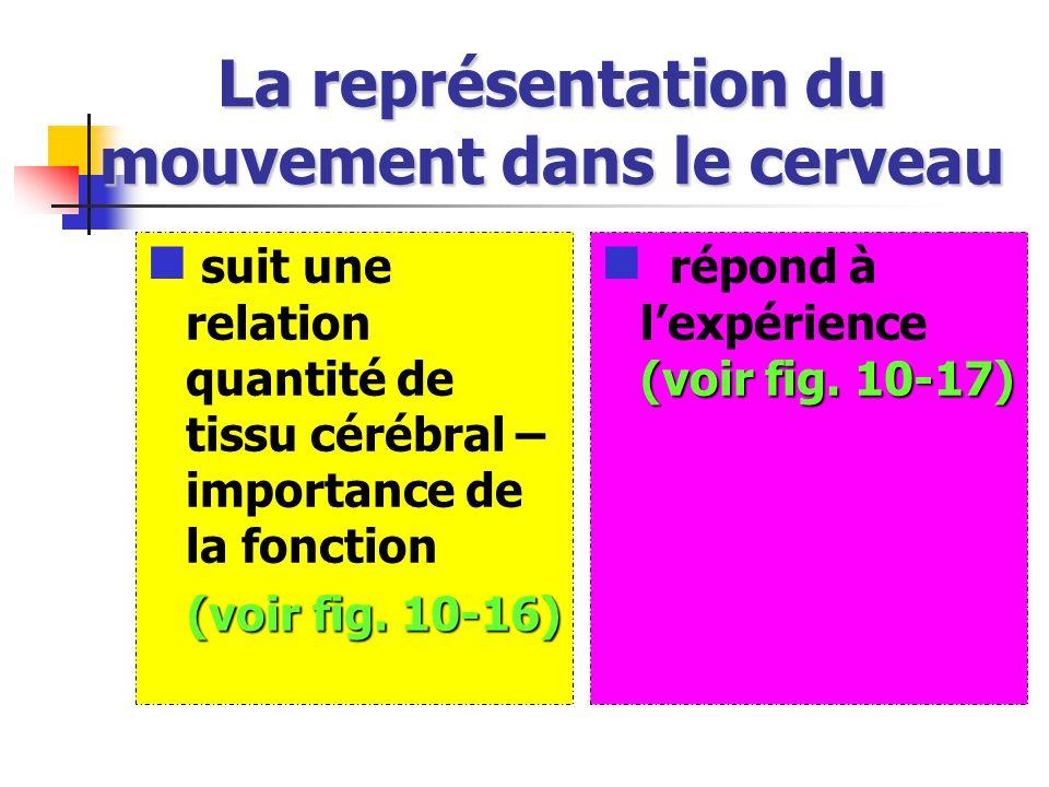 La représentation du mouvement dans le cerveau suit une relation quantité de tissu cérébral – importance de la fonction (voir fig.